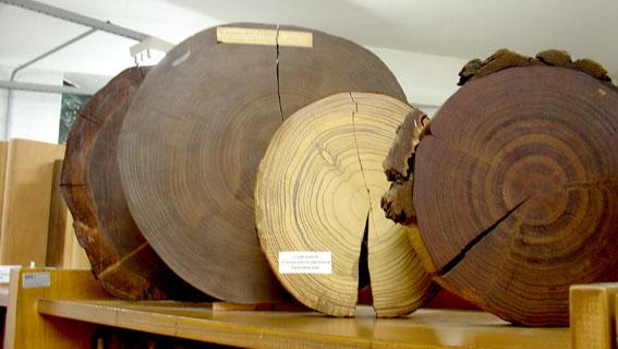 5 curiosidades que nunca te contaram sobre a madeira brasileira